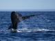 Foto de É temporada para avistar as Belas Baleias Francas no litoral catarinense.